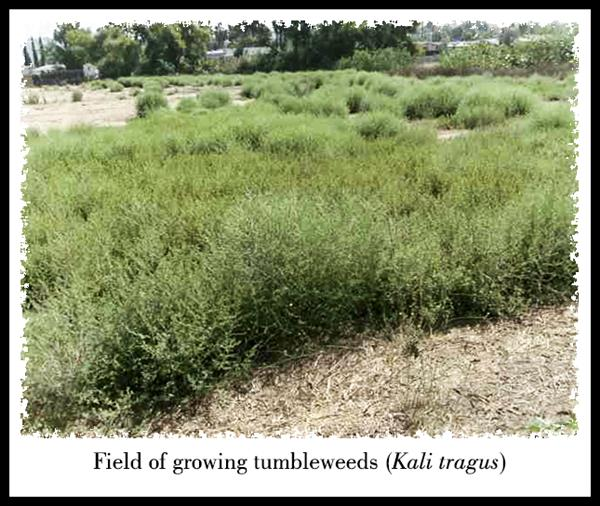 Field of growing tumbleweeds