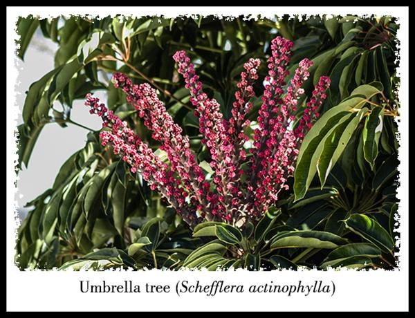 Umbrella tree flowers