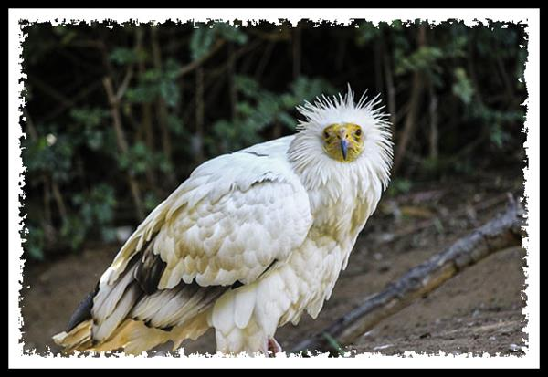 Western Egyptian Vulture at the San Diego Zoo Safari Park