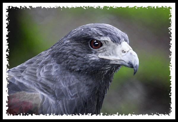Western Harris' Hawk at the San Diego Zoo Safari Park