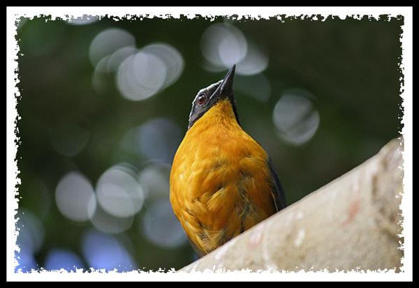 White-crowned Robin-chat at the San Diego Zoo Safari Park