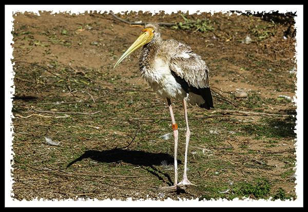 Yellow-billed Stork at the San Diego Zoo Safari Park
