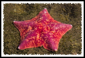 Starfish at SeaWorld San Diego