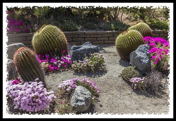 Golden Barrel Cactus in Balboa Park, San Diego