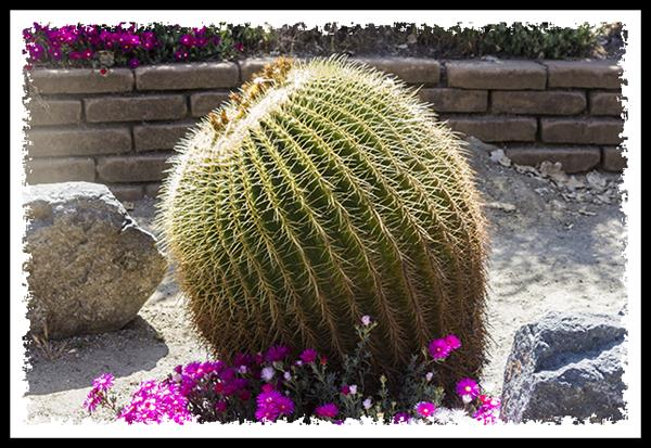 Golden Barrel Cactus in Balboa Park, San Diego