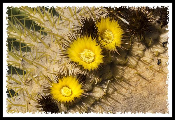 Leaning Barrel Cactus Golden Barrel Cactus Flowers
