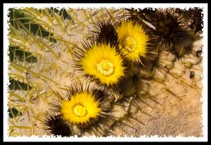 Golden Barrel Cactus flowers