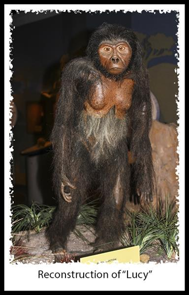 """""""Lucy"""" reconstruction at the San Diego Museum of Man"""