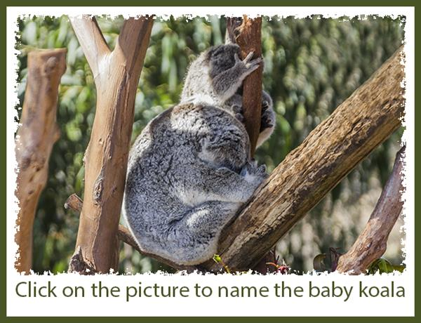 Name the baby koala