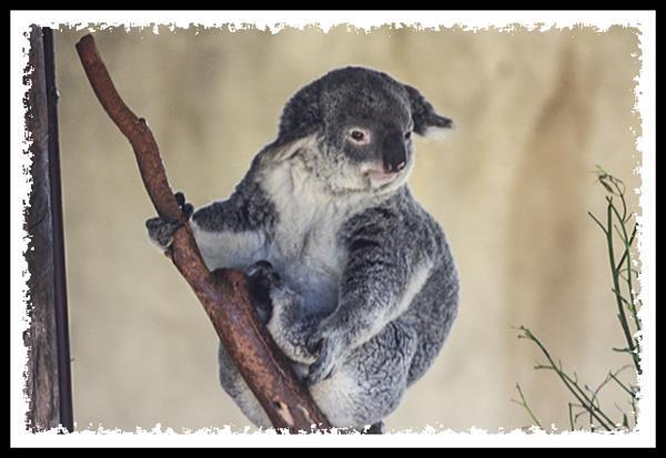 Koala at the San Diego Zoo