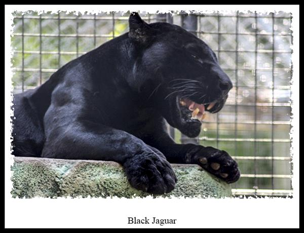 Black Jaguar at the San Diego Zoo