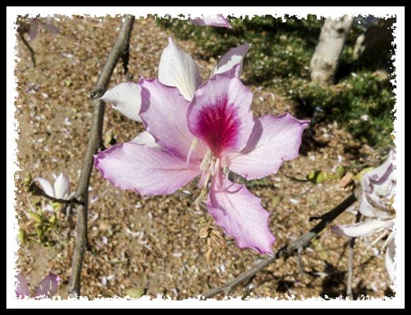 Flower of the silk floss tree