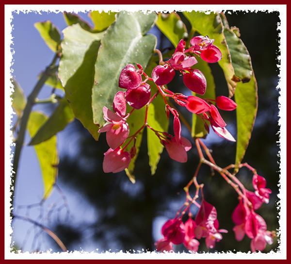 Begonia at San Diego State University