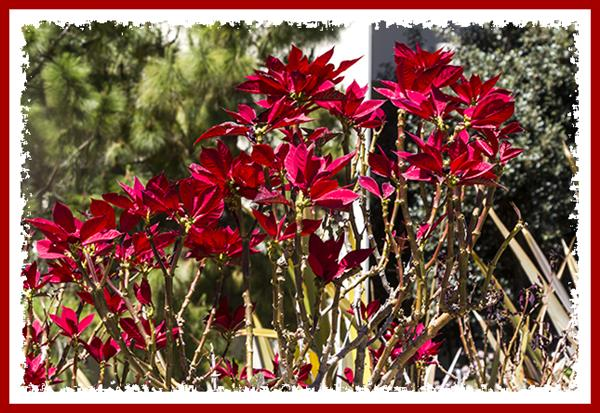 Poinsettias at San Diego State University