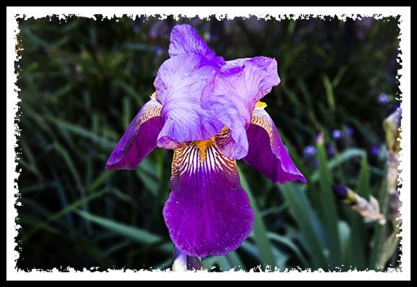 Iris at San Diego State University
