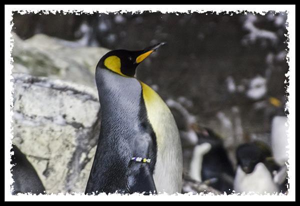 Emperor penguin at SeaWorld San Diego