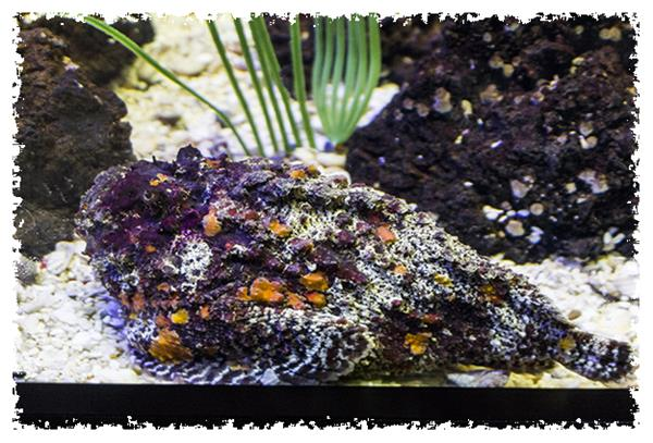 Stonefish at SeaWorld San Diego