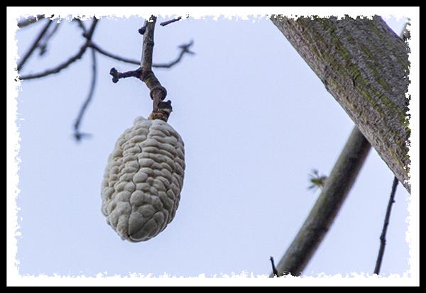 Seed pod of the silk floss tree