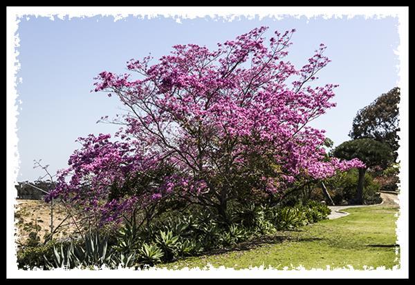 Pink tree in Balboa Park, San Diego