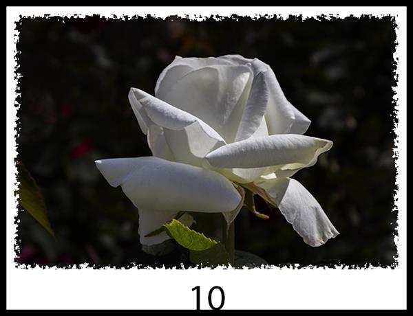 Rose #10