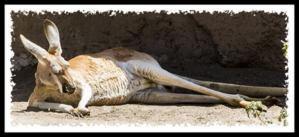 Red Kangaroo at the San Diego Zoo