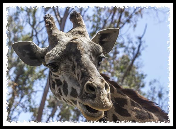 Masai Giraffe at the San Diego Zoo