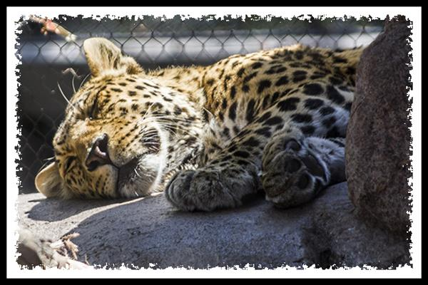 Jaguar at the San Diego Zoo