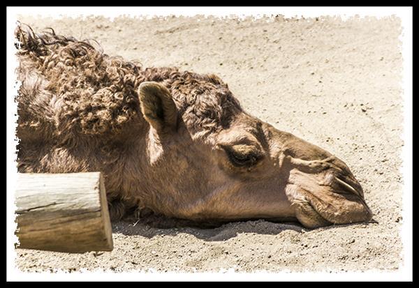 Dromedary Camel at the San Diego Zoo