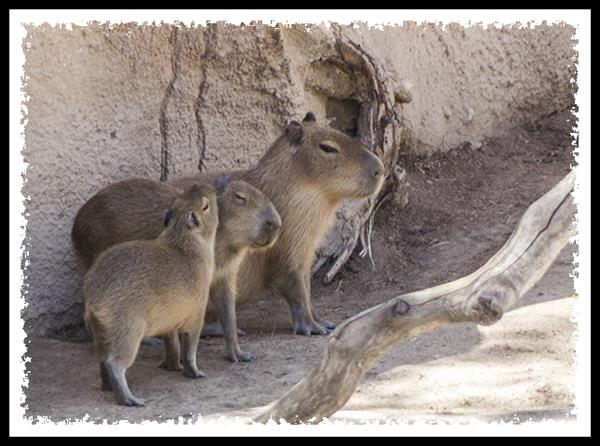Capybara at the San Diego Zoo