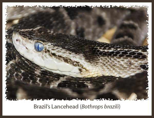 Brazil's Lancehead snake in the Reptile House at the San Diego Zoo