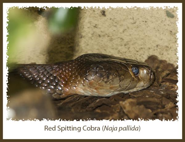 Red Spitting Cobra in the Reptile House at the San Diego Zoo