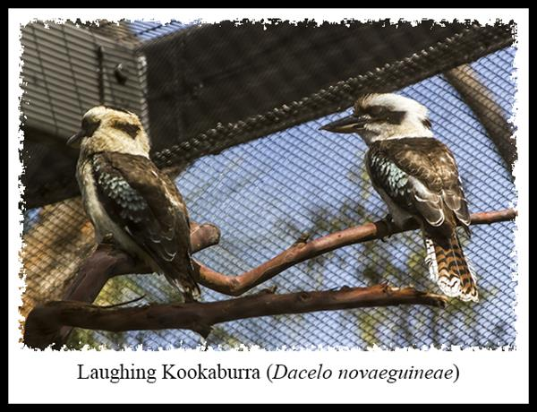 Laughing Kookaburras at the San Diego Zoo's Australian Outback exhibit