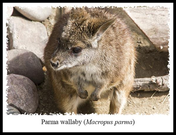 Parma Wallaby at the San Diego Zoo's Australian Outback exhibit