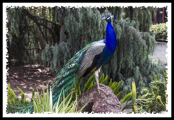 Peacock at the Los Angeles Arboretum