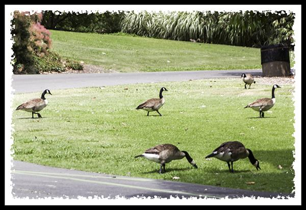 Canada Geese at the Los Angeles Arboretum and Botanic Garden in Arcadia, California