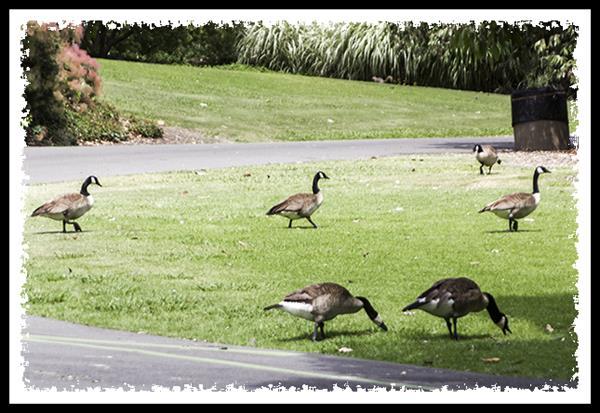 Canada Geese at the Los Angeles Arboretum and Botanic Garden in Arcadia, California