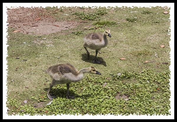 Baby Canada Geese at the Los Angeles Arboretum and Botanic Garden in Arcadia, California