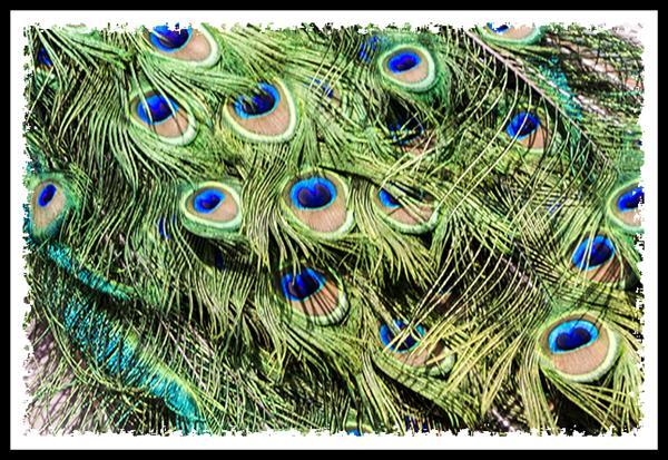 Peacock at the Los Angeles Arboretum