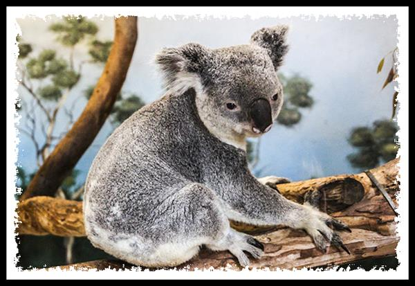 Koala at the San Diego Zoo