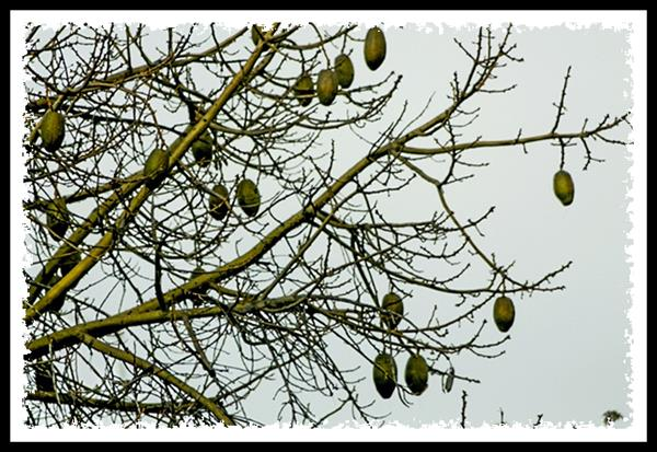 Seed pods of the silk floss tree