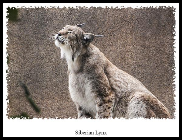 Siberian Lynx at the San Diego Zoo