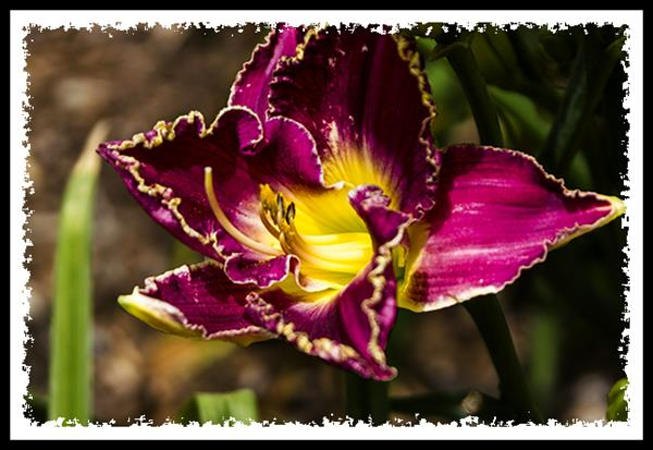 Day lily at the Los Angeles County Arboretum & Botanic Garden
