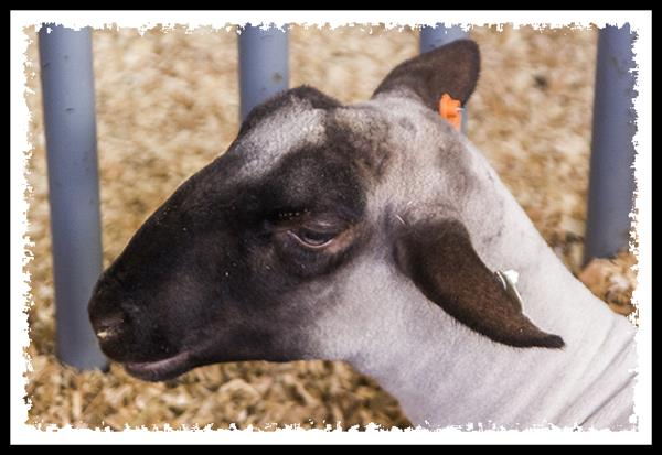 Goat at the 2013 San Diego County Fair