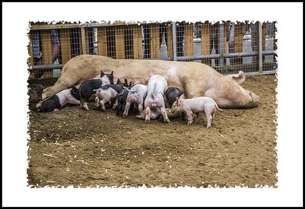 Pigs at the San Diego County Fair