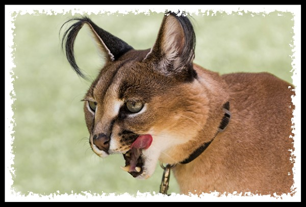Caracal at the San Diego Zoo