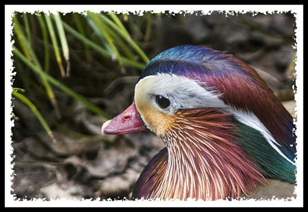 Mandarin Duck at the San Diego Zoo