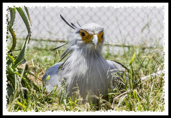 Secretary Bird at the San Diego Zoo