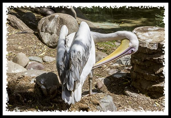 Great White Pelican at the San Diego Zoo