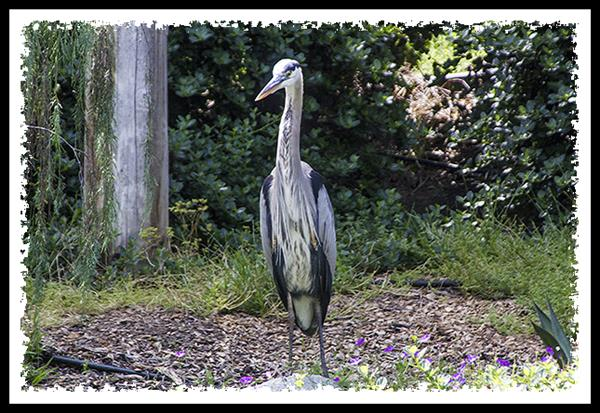 Great Blue Heron visiting the San Diego Zoo