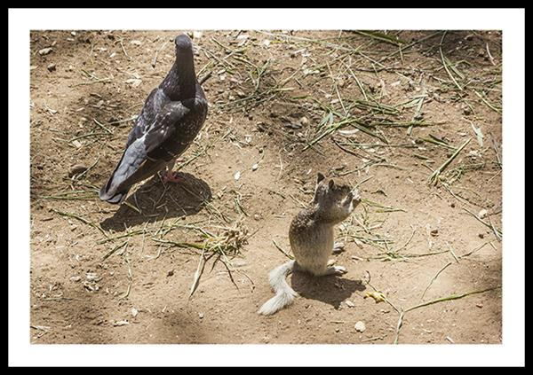 Rock Pigeon and Ground Squirrel at Chollas Lake Park